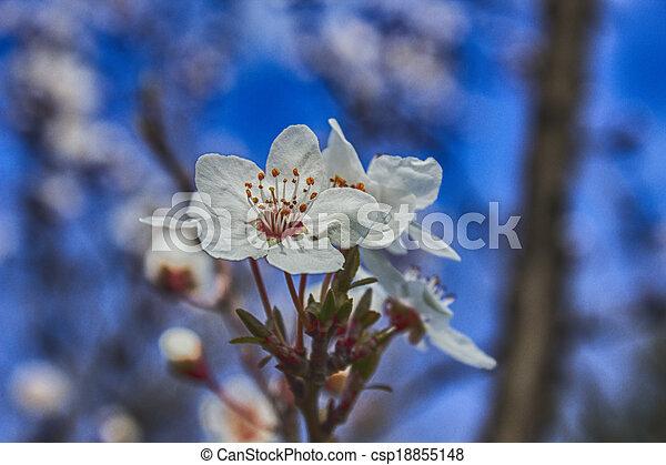 BLOSSOM cherry ,hdr - csp18855148
