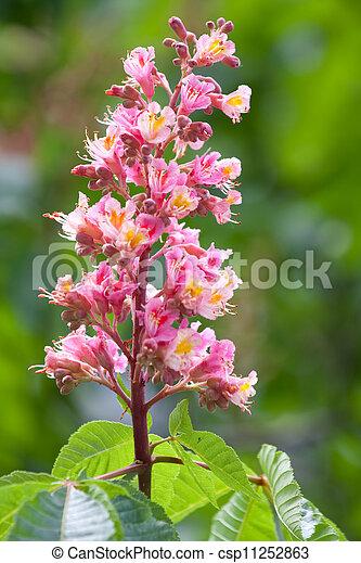 Blossom chestnut tree blossom on the chestnut tree blossom chestnut tree csp11252863 mightylinksfo