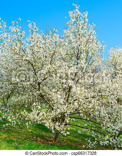 Blossom Magnolia Trees With Flowers White Blossom Magnolia Trees