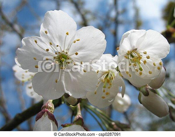 blossom - csp0287091