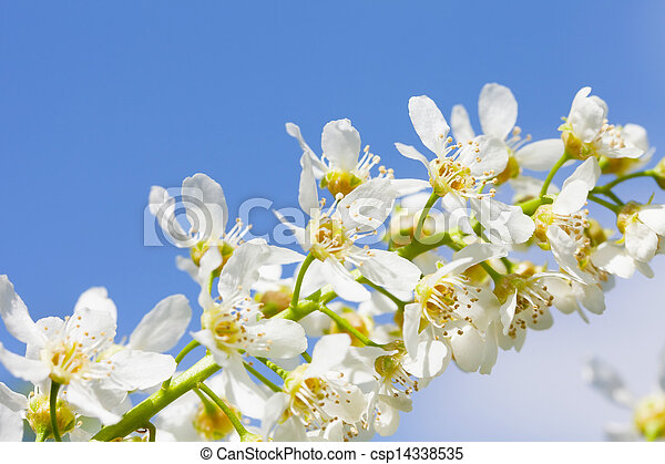 Blossoming bird cherry against the blue sky - csp14338535