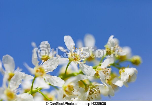 Blossoming bird cherry against the blue sky - csp14338536