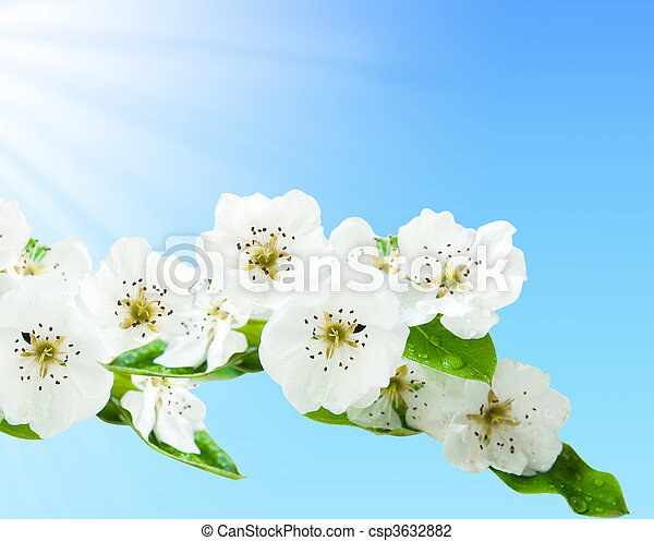 Blossoming branch of a cherry against the blue sky - csp3632882