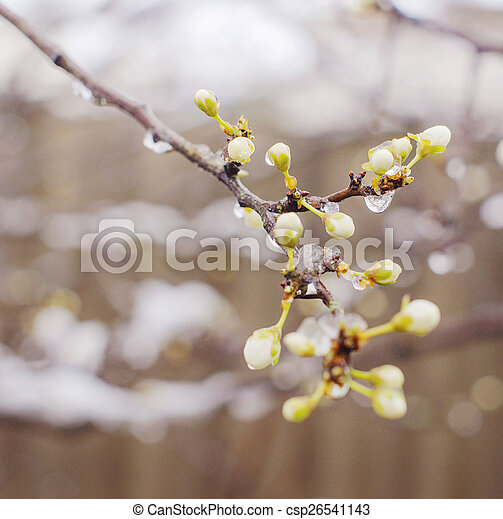 Blossoming branches of trees - csp26541143