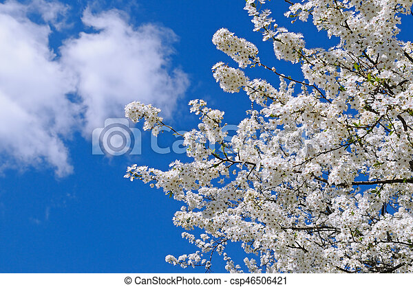 Blossoming cherry against the blue sky - csp46506421