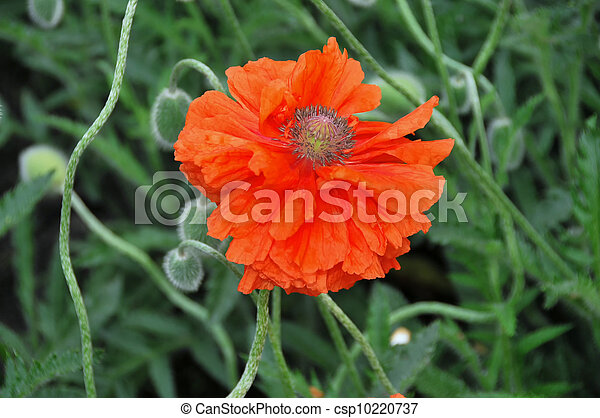 Blossoming flower of red garden papaver - csp10220737