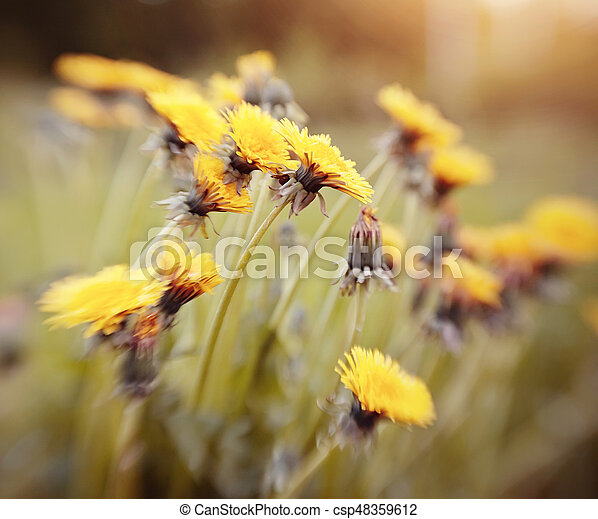 Blossoming of a yellow dandelion. - csp48359612