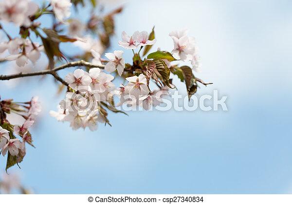 blossoming Oriental cherry sakura branch against the blue sky - csp27340834