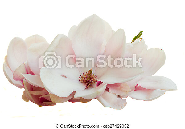 Blossoming pink magnolia flowers blooming pink magnolia flowers blossoming pink magnolia flowers csp27429052 mightylinksfo