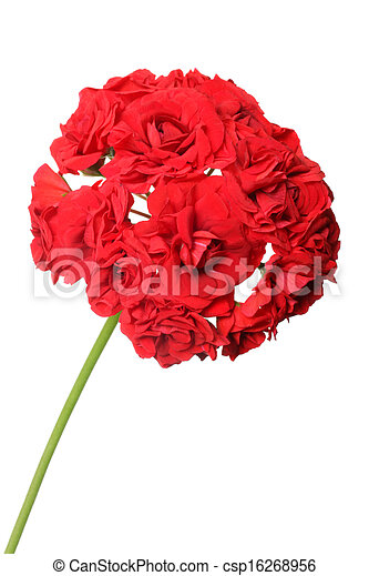 Blossoming red geranium  - csp16268956