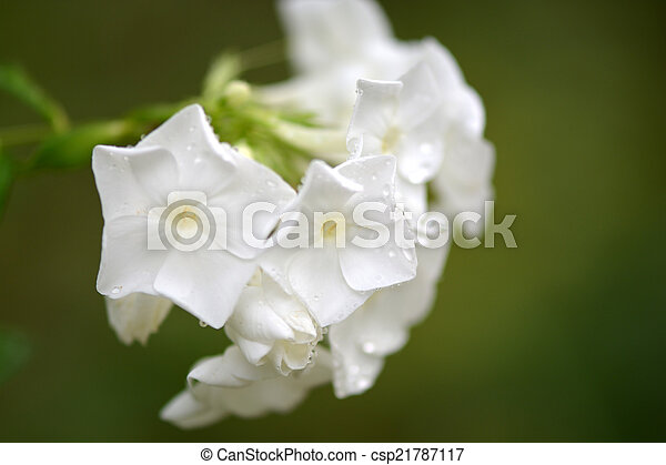 blossoming tree brunch with white flowers - csp21787117