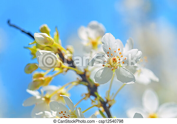 blossoming tree brunch with white flowers - csp12540798