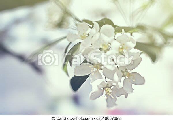 blossoming tree brunch with white flowers - csp19887693
