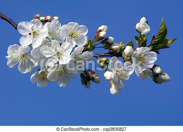 Blossoming tree with white flowers - csp3835827