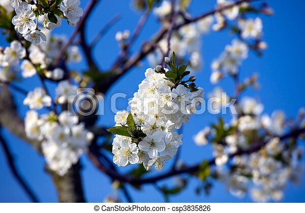 Blossoming tree with white flowers - csp3835826