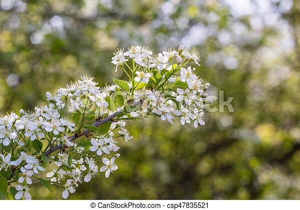Blossoming tree with white flowers - csp47835521