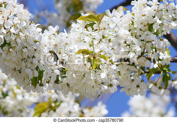 Blossoming tree with white flowers - csp35780790