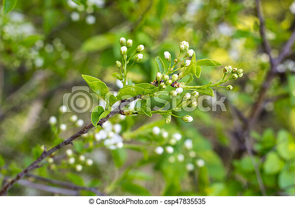 Blossoming tree with white flowers - csp47835535