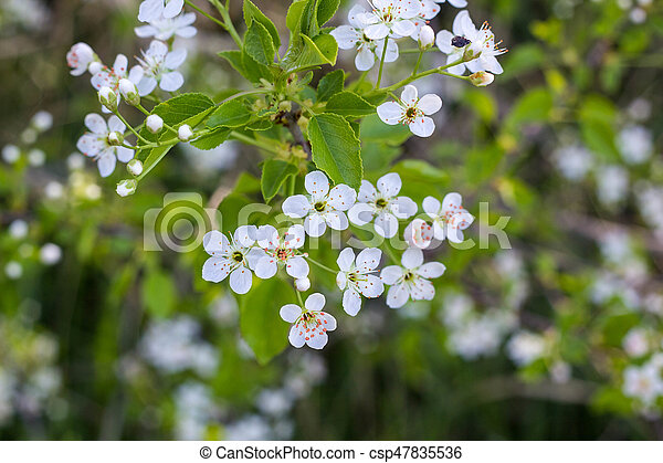 Blossoming tree with white flowers - csp47835536