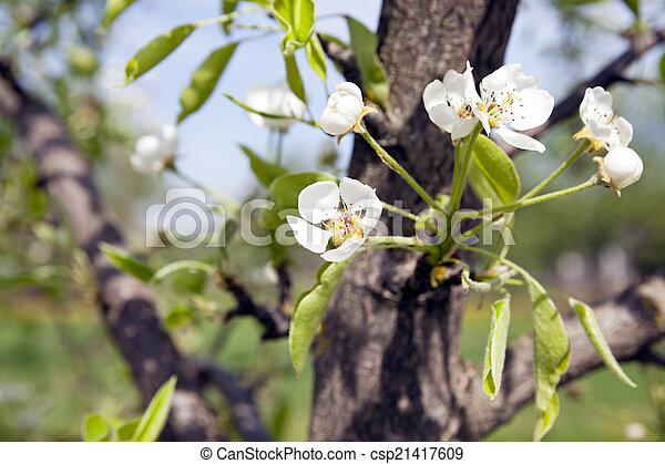 Blossoming Trees The White Flowers Which Have Appeared On A