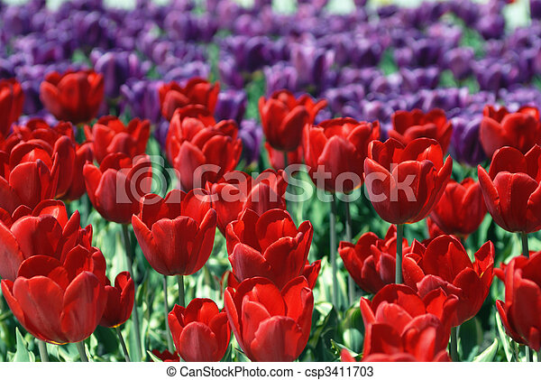 Blossoming tulips - csp3411703