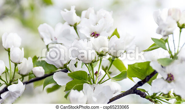 Blossoms and Buds of an Apple Tree in the Garden on a Sunny Spring Day. Spring Renewal Concept. - csp65233065