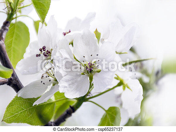 Blossoms and Buds of an Apple Tree in the Garden on a Sunny Spring Day. Spring Renewal Concept. - csp65237137