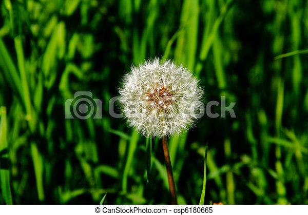 blowball, pissenlit, arrière-plan vert, frais, herbe - csp6180665
