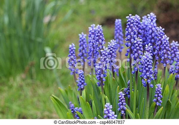 Fiori Primaverili.Blu Fiori Primaverili Blu Primavera Fuori Crescente Muscari
