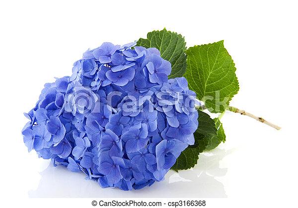 Blu ortensia blu natura ortensia isolato fiori - Ortensia blu ...