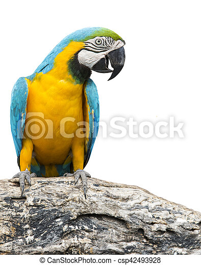 blue and yellow macaw bird perching on tree branch isolate white background - csp42493928