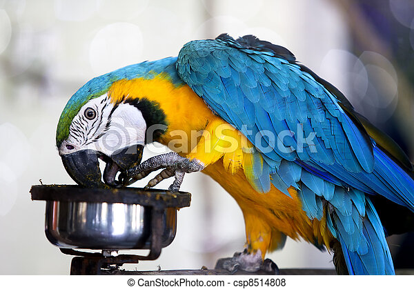 Blue and yellow macaw - csp8514808