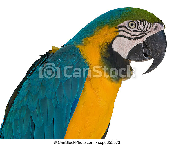 blue-and-yellow, macaw - csp0855573