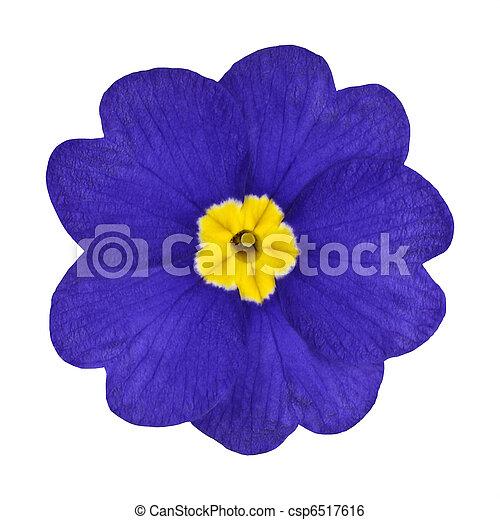 Blue and yellow primrose flower isolated single blue primrose blue and yellow primrose flower isolated csp6517616 mightylinksfo