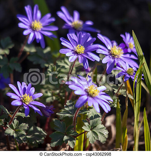 Blue anemone flowers with a yellow centre blue anemone flowers with a yellow centre csp43062998 mightylinksfo