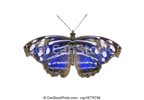 Blue-banded Purplewing Butterfly - csp18776746