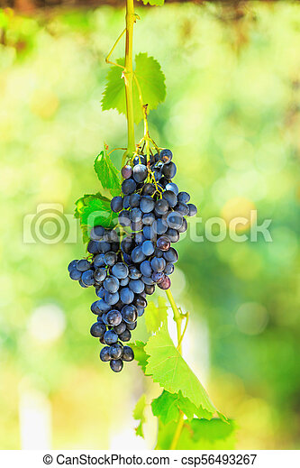 Blue bunches of grapes in the sunshine - csp56493267