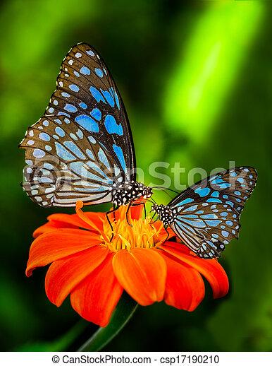 Blue butterfly  - csp17190210