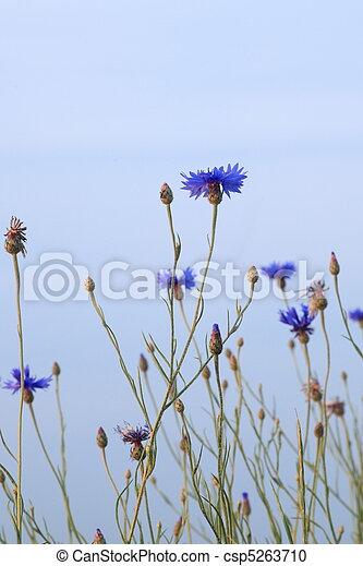 blue cornflower and blue sky - csp5263710