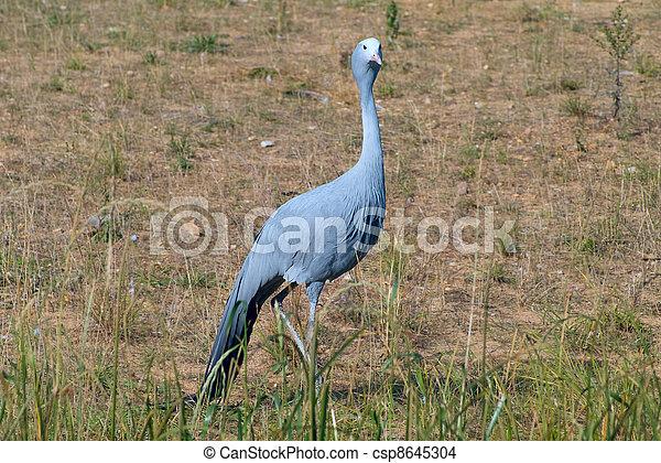 Blue Crane Bird in Field - csp8645304