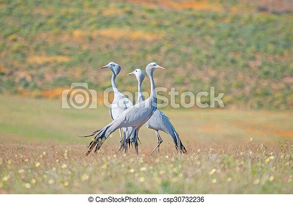 Blue Crane - csp30732236