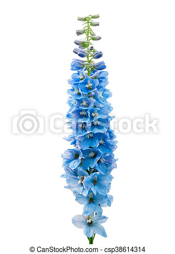 Blue delphinium flower isolated on white background blue delphinium flower isolated on white csp38614314 mightylinksfo