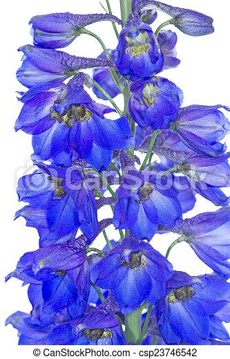 Blue Delphinium flowers - csp23746542