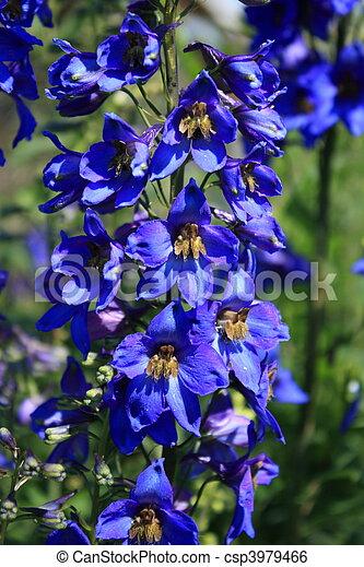 Blue delphinium - csp3979466