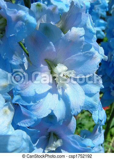 Blue Delphinium - csp1752192
