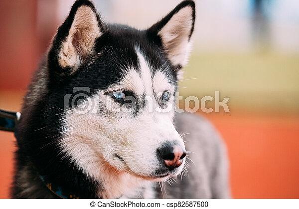 Blue-eyed Adult Siberian Husky Dog portrait - csp82587500
