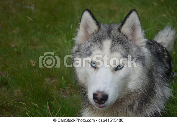 Cool Grey Blue Eye Adorable Dog - blue-eyed-siberian-husky-puppy-dog-pictures_csp41515480  Best Photo Reference_26939  .jpg