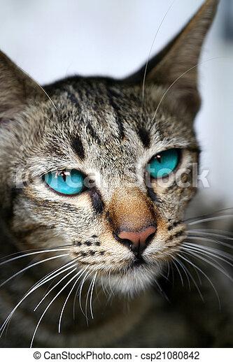 Blue eyes of Bengal cat. - csp21080842