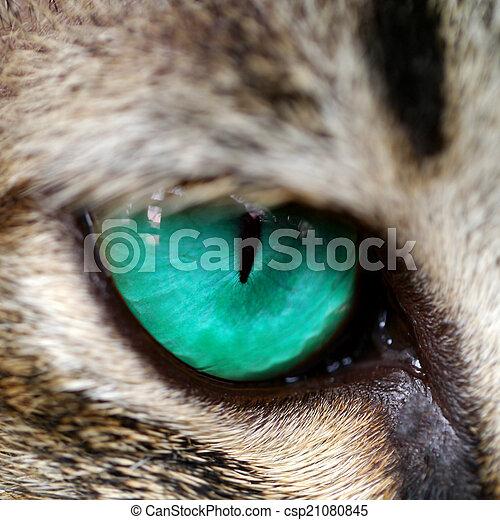 Blue eyes of Bengal cat. - csp21080845
