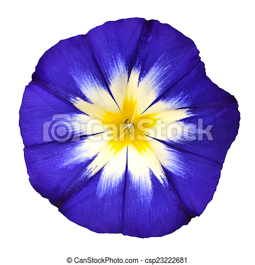 Blue flower with white yellow star center isolated blue flower with blue flower with white yellow star center isolated csp23222681 mightylinksfo